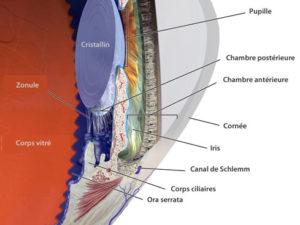 Anatomie de l'oeil